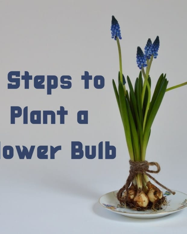 four-easy-steps-to-plant-a-flower-bulb