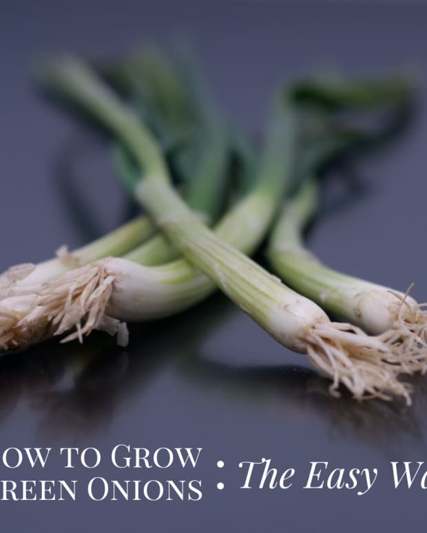 the-easy-way-to-grow-green-onions