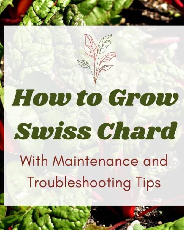 growing-maintaining-troubleshooting-swiss-chard