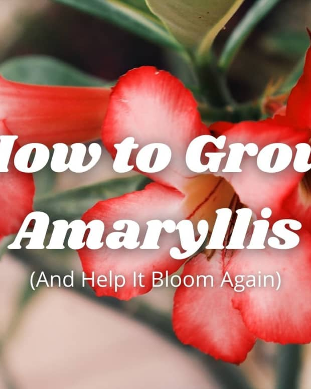 amaryllis-or-hippeastrum-how-to-grow-and-bloom-again
