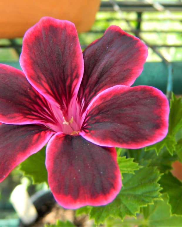 the-difference-between-garden-and-pot-geraniums
