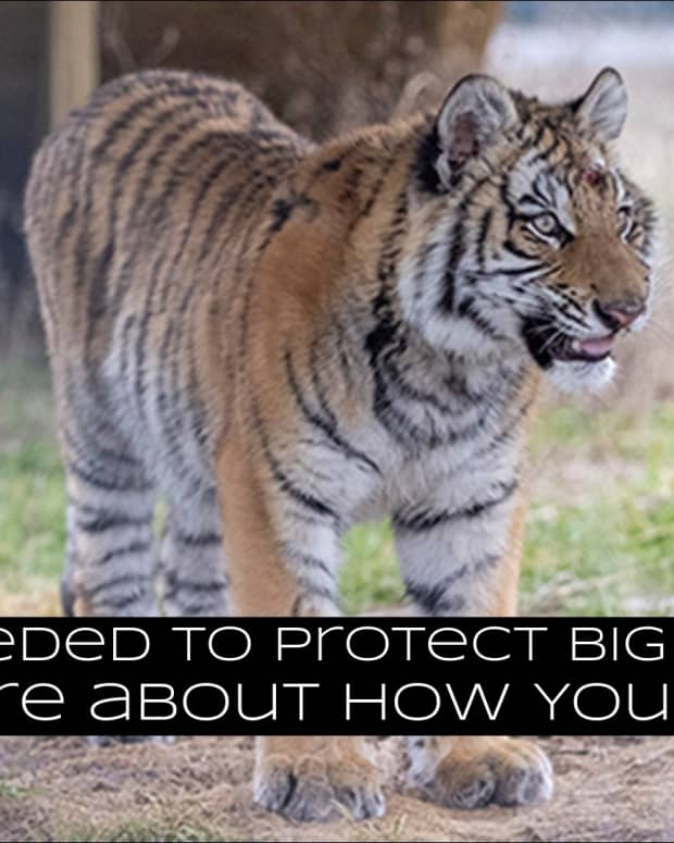 action-needed-to-help-big-cats