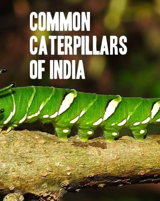 caterpillars-of-india