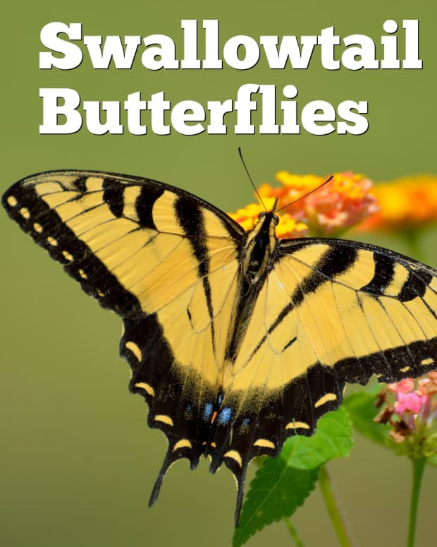 swallowtail-butterflies-of-north-america