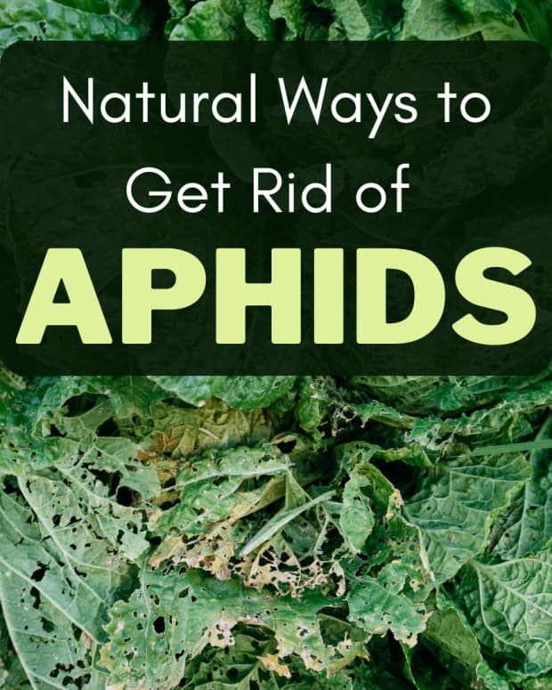 how-to-get-rid-of-aphids-safely-and-naturally