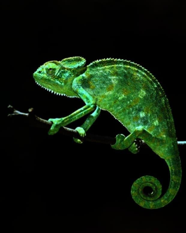 a-chameleons-freedom