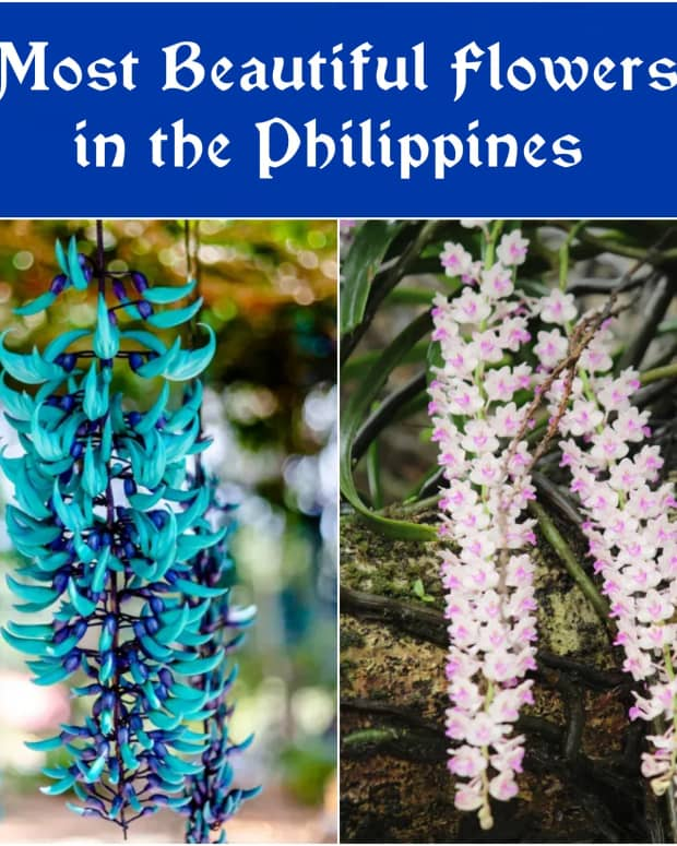12-flower-from-the-philippines-the-most-beautiful-in-the-world