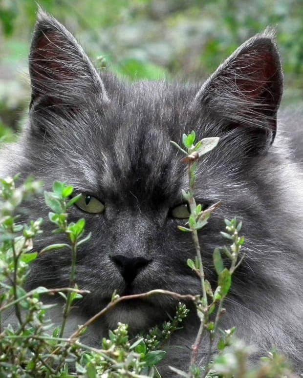 siberian-cat-facts