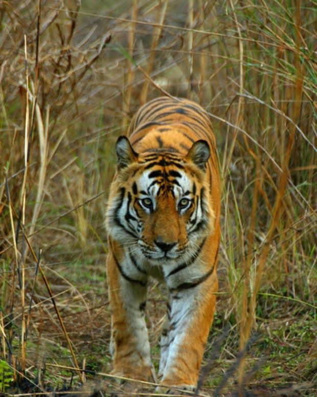 Tiger image by Kamaljeet Singh