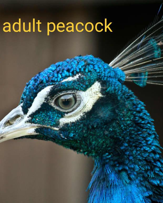 male-peafowl