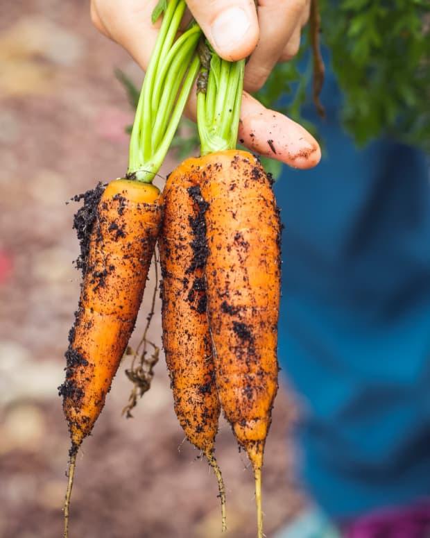 harvesting-carrots
