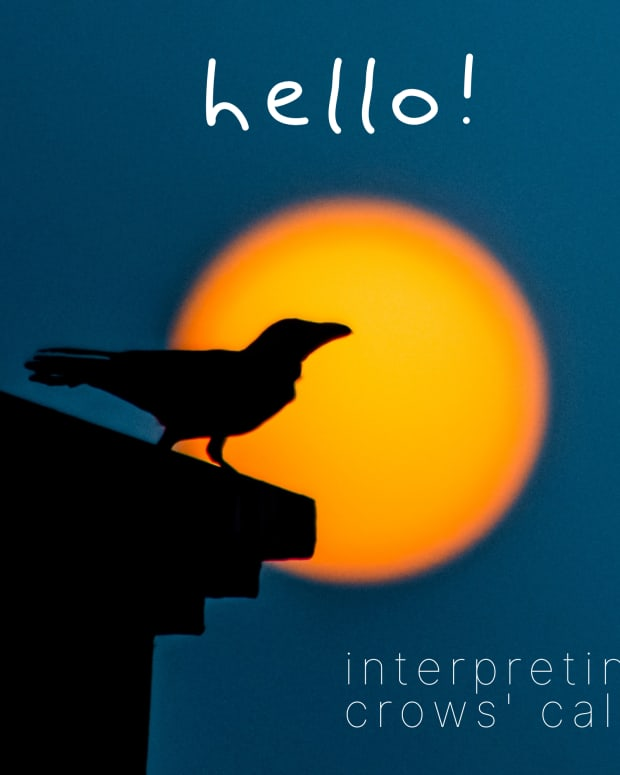 can-crows-talk-and-if-so-what-are-they-saying