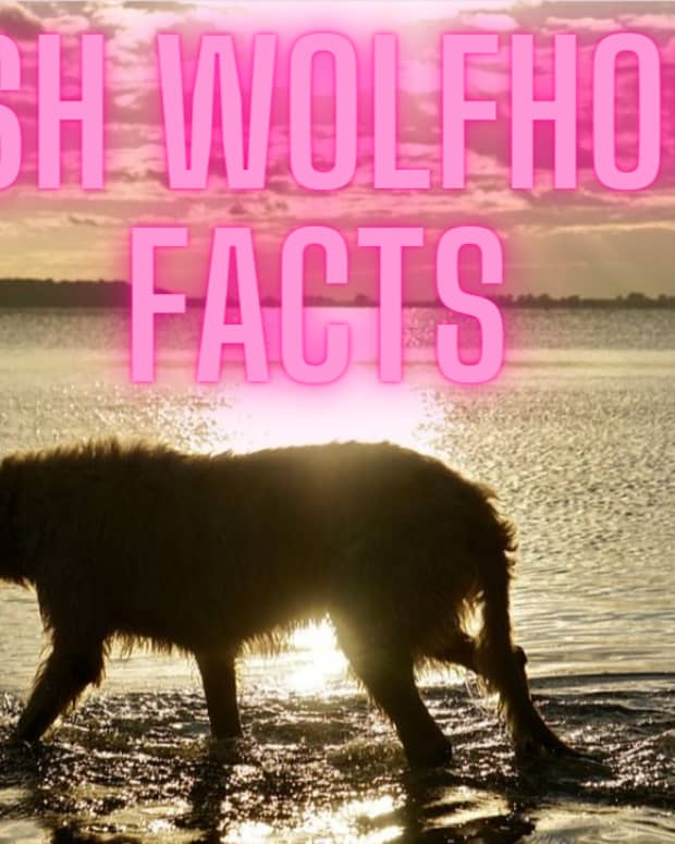 information-and-fun-facts-about-irish-wolfhounds