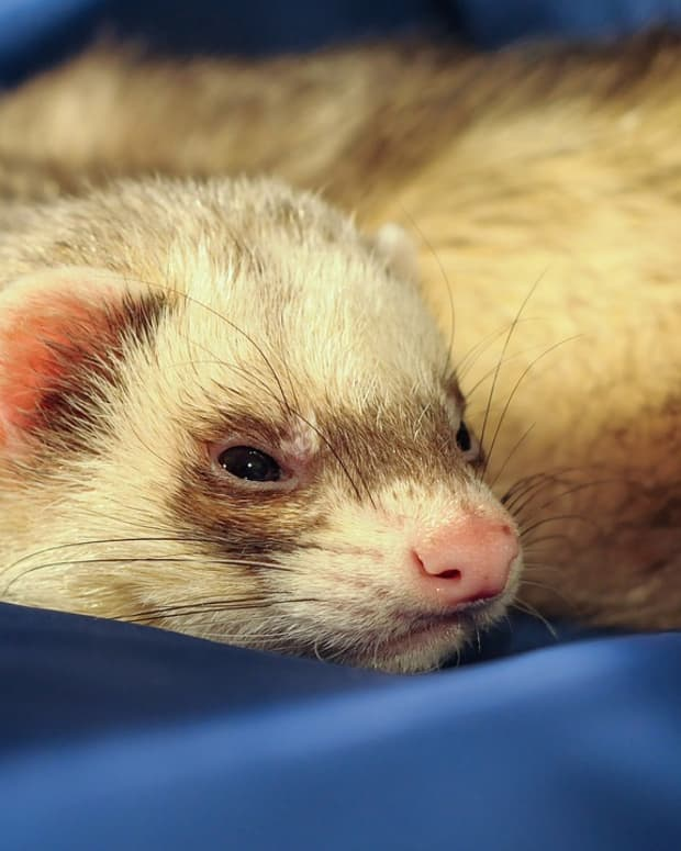 5-tips-to-help-you-cope-with-the-loss-of-your-ferret