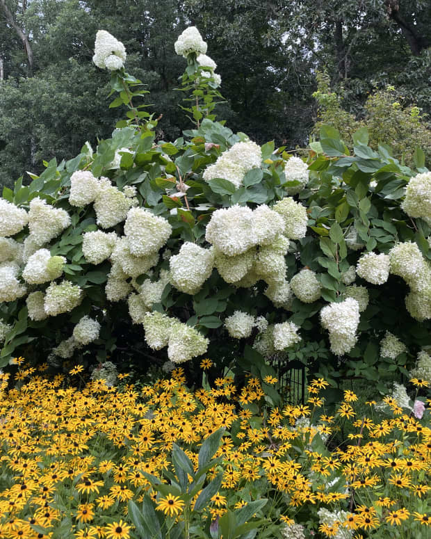 how-to-plant-hydrangeas-in-the-ground