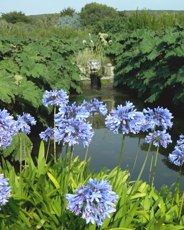 gorgeous-late-flowering-blue-perennials-for-your-garden