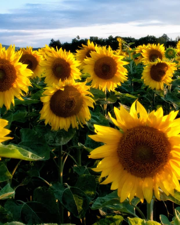 a-short-poem-on-sunflowers