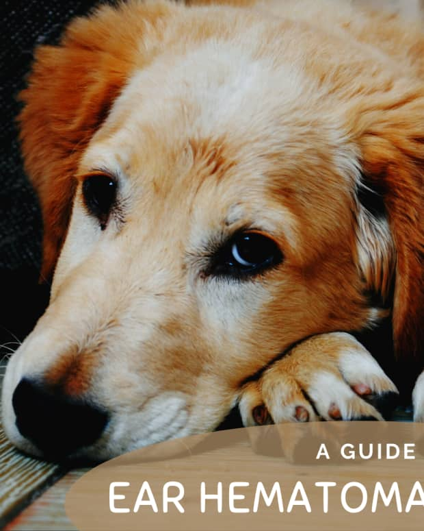 hematoma-swollen-dog-ear-flap-and-how-to-treat-it