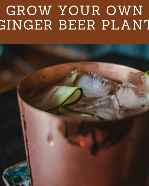 how-to-grow-your-own-ginger-beer-plant