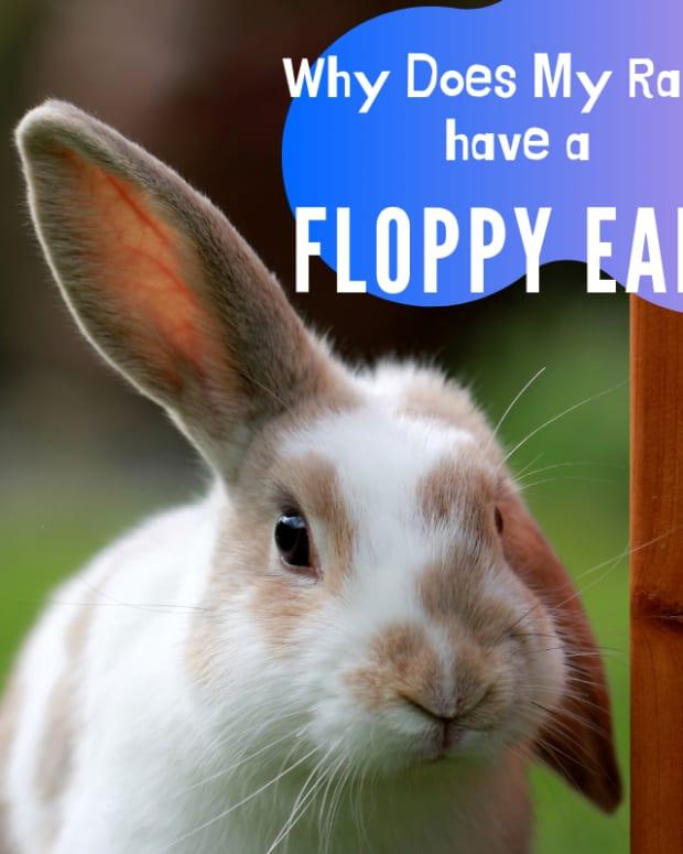 what-makes-rabbit-ears-go-floppy