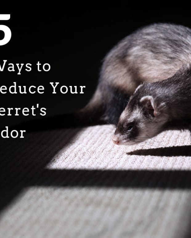 5-ways-to-reduce-ferret-odor