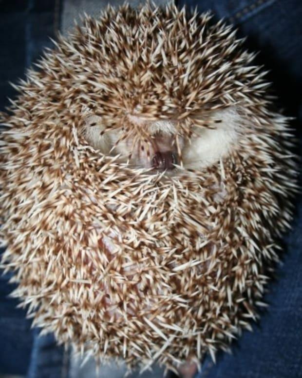 hedgehog-pets
