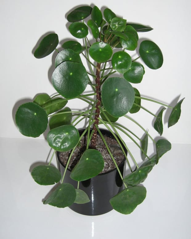 how-to-grow-chinese-money-plant