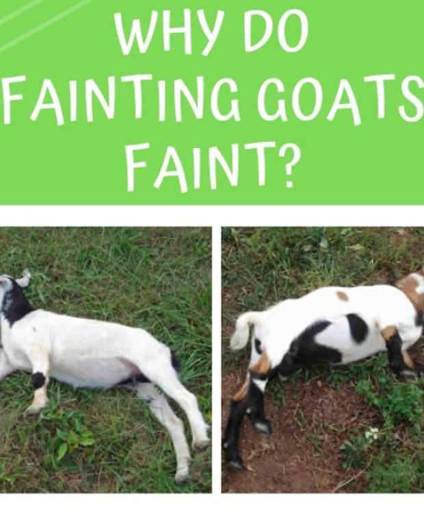why-do-fainting-goats-faint