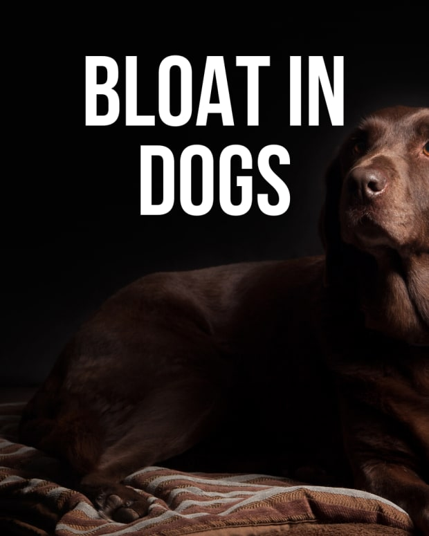 dog-bloat-symptoms-causes-treatment-and-prevention