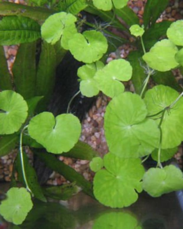 pennywort-tea-and-its-many-benefits