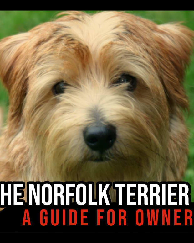 the-norfolk-terrier-a-guide-for-owners