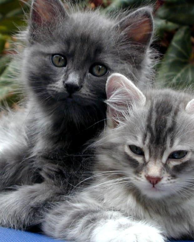 feline-hepatic-lipidosis-fatty-liver-disease-in-cats