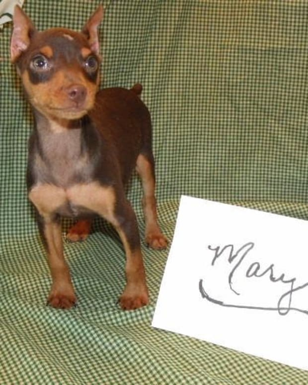 living-with-a-miniature-pinscher