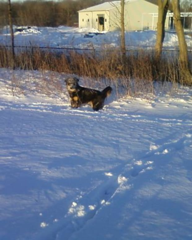 preventing-snowballs-and-ice-balls-in-dogs-foot-pads