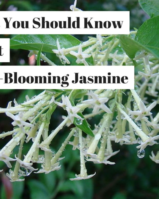 night-blooming-jasmine-cestrum-nocturnum