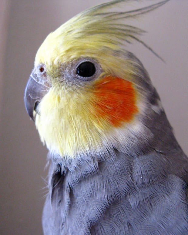 information-on-the-cockatiel-and-cockatiels