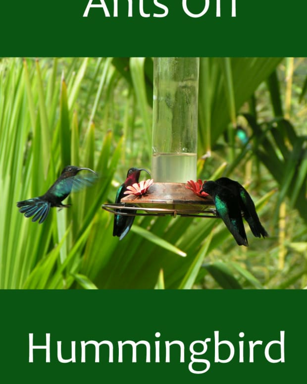 prevent-ants-on-hummingbird-feeders