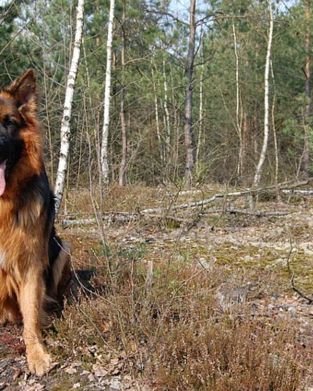 breed-types-of-german-shepherds