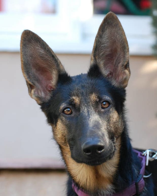 german-shepherd-ears-standing-up