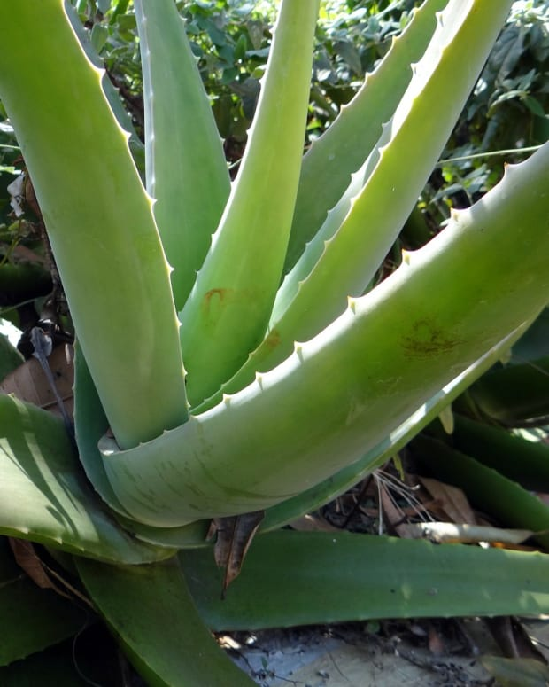the-aloe-vera-health-benefits