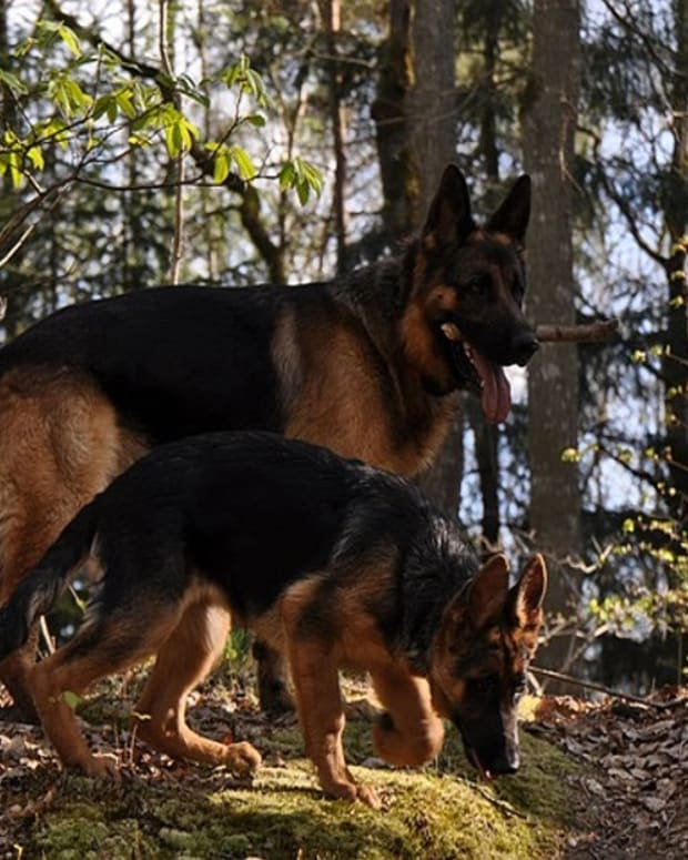 german-shepherd-coat-colors