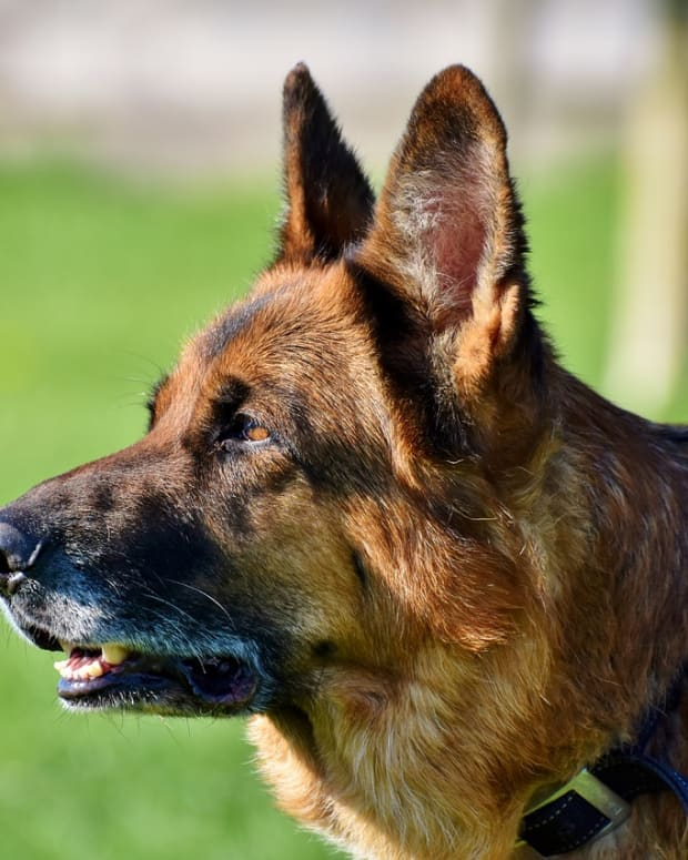 clicker-training-for-german-shepherds