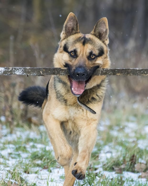 ticks-on-german-shepherd-dogs