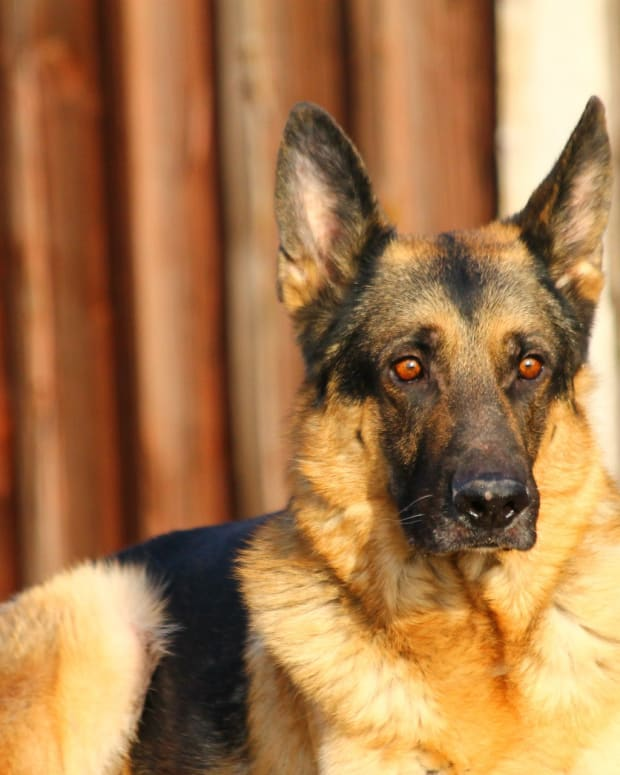 hip-dysplasia-in-german-shepherds