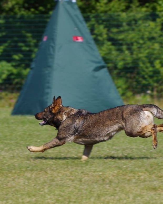 schutzhund-training-for-german-shepherds