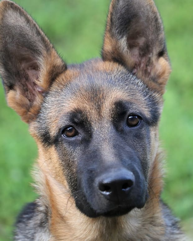 german-shepherd-worms-dogs