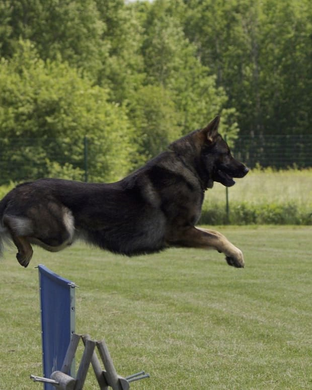east-german-shepherd-dogs