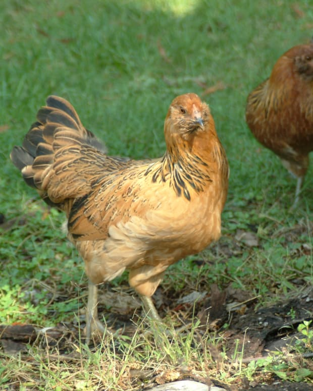 chickens-best-breeds-to-get-for-a-backyard-egg-laying-hens-raising-egg-laying-city-chickens