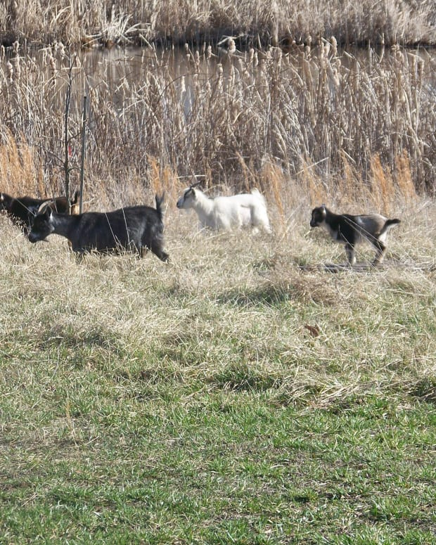 raising-nigerian-dwarf-goats-perfect-for-a-small-farm