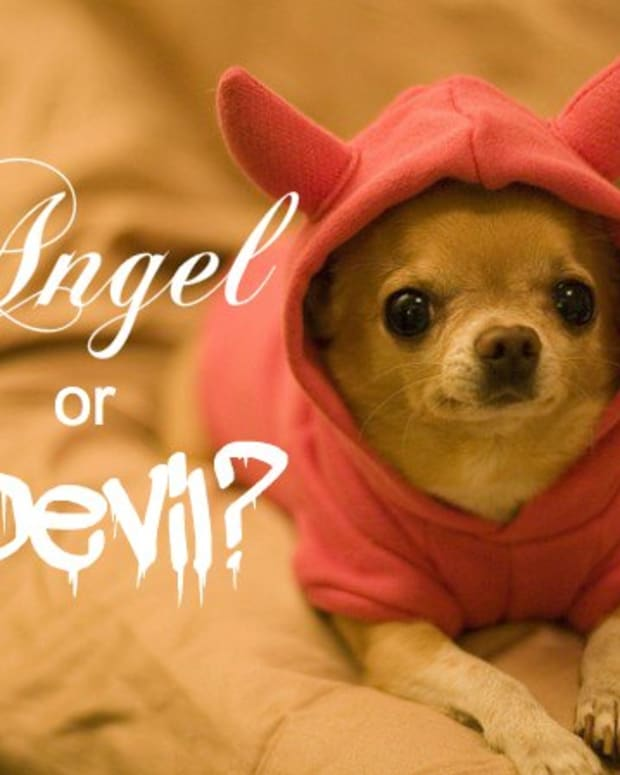 a-chihuahua-temperament-the-good-the-bad-and-the-ugly
